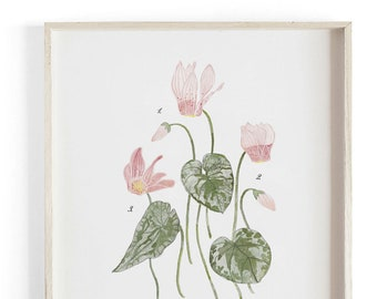 Cyclamen - Holiday art - Beautifully textured scientific cotton canvas art print. Order as a 5x7 8x10 11x14 or 16x20 size.