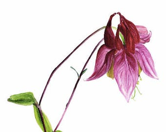 Wild Columbine, print, watercolor, pink