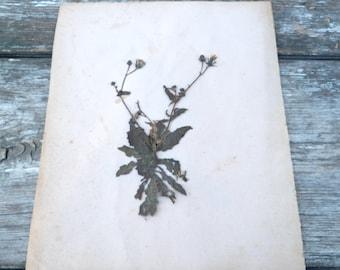 Antique 1900s French herbarium  No name