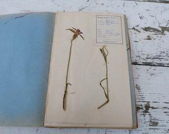 1939 Vintage Français herbier/botanique plaque/Caryophillées Nielle