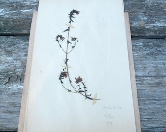 Antique 1908s French herbarium  Odontite Ruhre