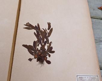 Antique-1887-1889-French-Herbarium-Myosotis-ALPESTRIS