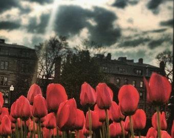 Small Framed Tulips Photo Print