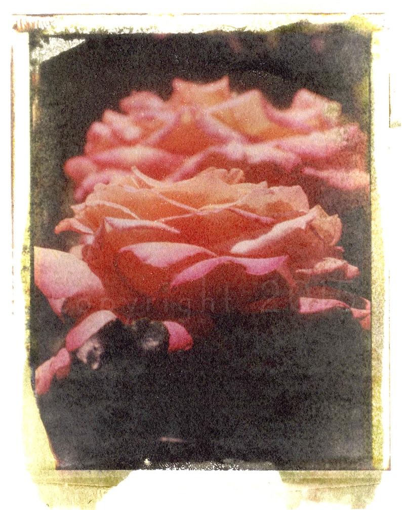Polaroid transfer  Rose image 0