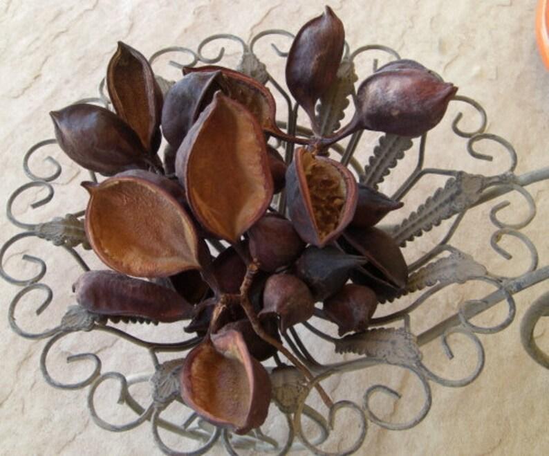 40 Arizona Bottle Tree Brachychiton Seed Pods  Artists  image 0