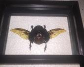 XL Egyptian Scarab Beetle ( F )