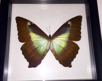 Twilight ( Noctiluscent ) Morpho Butterfly