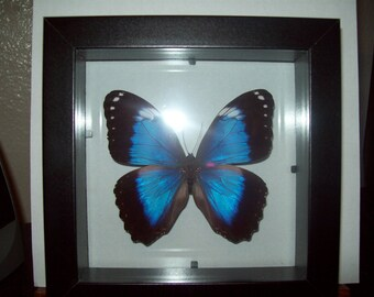 Violet Morpho Butterfly