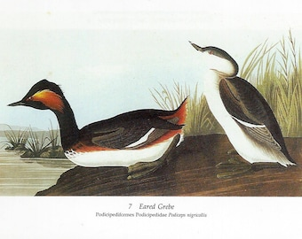 Audubon Eared Grebe or Pied-billed Grebe (Pied-billed Dobchick) for Framing, Collage, Decoupage, Scrapbooking, Paper Arts and MORE PSS 3206