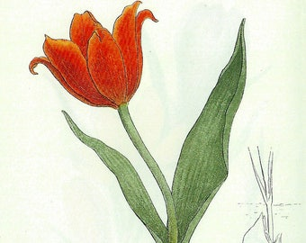 1912 French Botanical Print Tulip, or on the Reverse Side of the Page, Crocus to Frame or for Paper Arts, Collage, Scrapbooking PSS 3310
