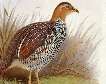 Schlegel's Francolin or on the Reverse Side a Female Crested Shelduck to Frame or for ATCs, Collage, Scrapbooking and Paper Arts PSS 2954
