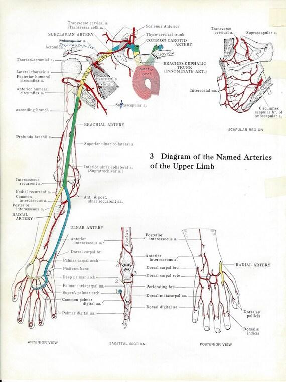 Upper Limb Arteries Upper Limb Bones From Behind On The Etsy