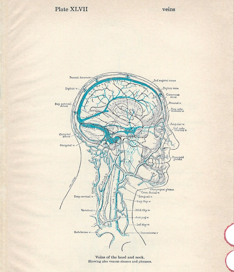 Human Anatomy Veins Of The Head And Neck Principal Veins Of Etsy