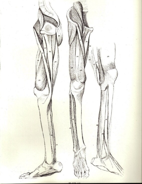 Human Anatomy Leg Muscle Structure Antique Illustration By Etsy