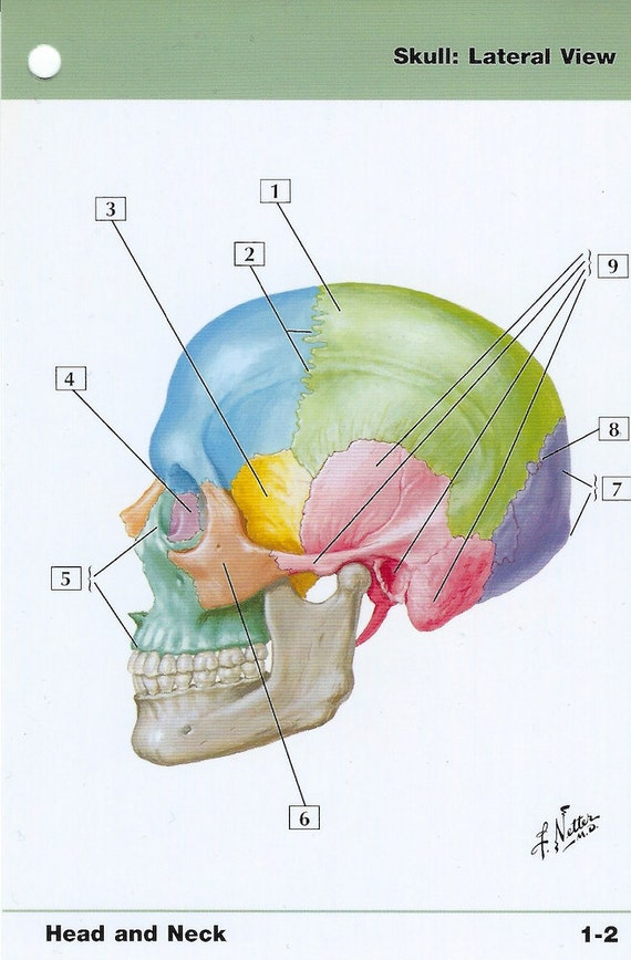Skull Lateral View Anatomy Flash Card By Frank H Netter To Etsy