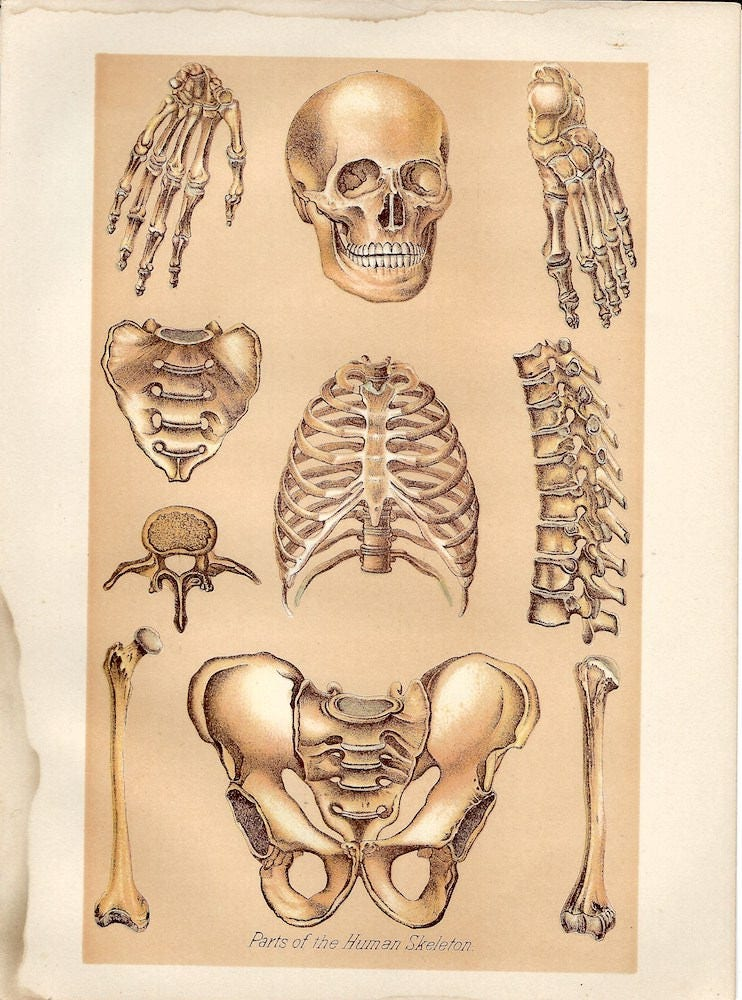 Human Skeleton Parts Vintage Page from 1908 Medicology or Home | Etsy