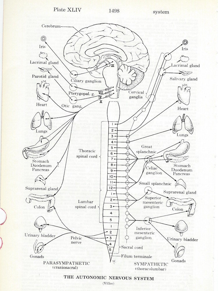 Anatomía sistema nervioso autónomo anatomía médica Vintage | Etsy