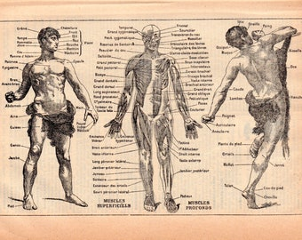Human Anatomy & Physiology a Rare Antique Book Page Illustration from 1926 French Dictionary, Homme Illustration  PSS 4934