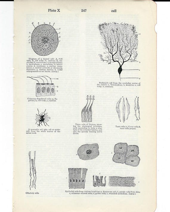 Human Anatomy Vintage Medical Anatomy Cell Structure