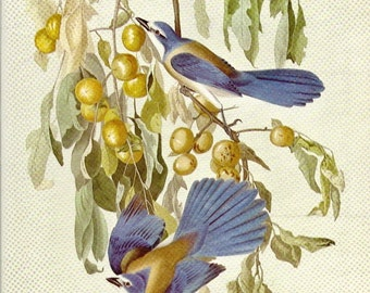 Florida Jay Audubon Plate to Frame or for Collage, Scrapbooking, Paper Arts, Assemblage and MORE PSS 0466