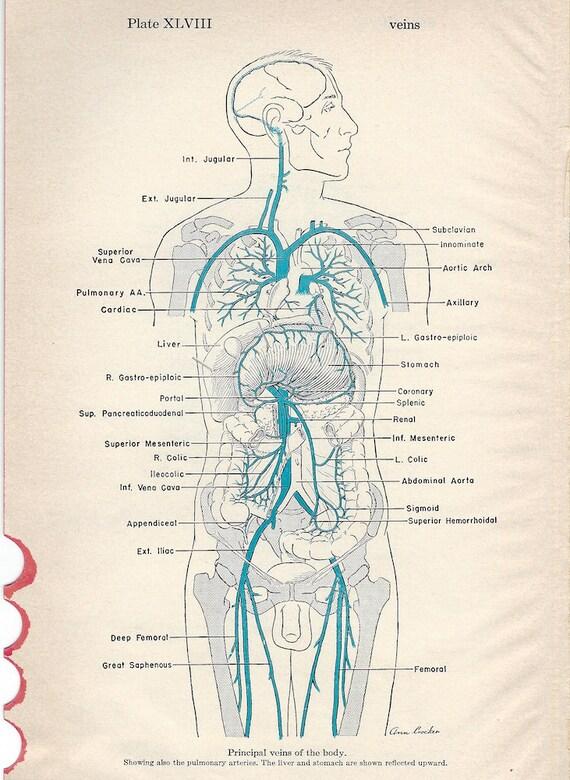 Menschliche Anatomie Adern von Kopf und Hals & wichtigsten | Etsy