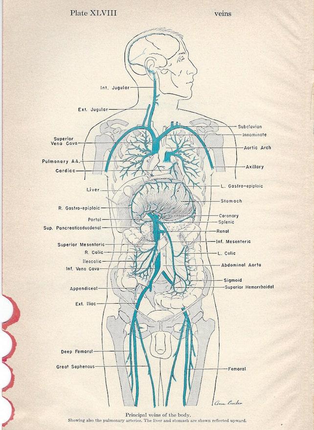 Anatomía las venas de la cabeza y cuello y las venas   Etsy