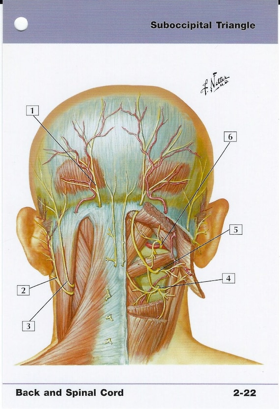 Suboccipital Triangle Anatomy Flash Card By Frank H Netter To Etsy