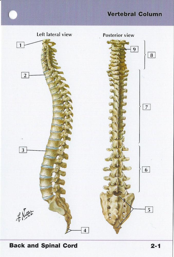Wirbelsäule Anatomie-Flash-Karte von Frank H. Netter Rahmen | Etsy