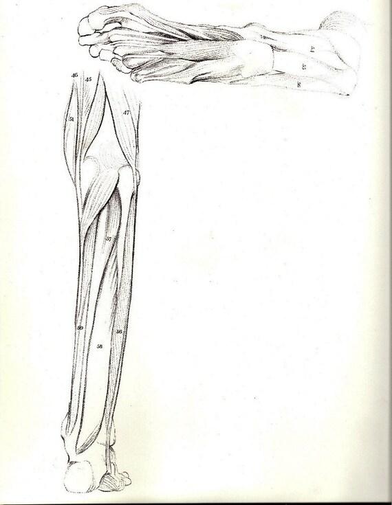Menschliche Anatomie Bein Muskel Struktur antike Illustration | Etsy