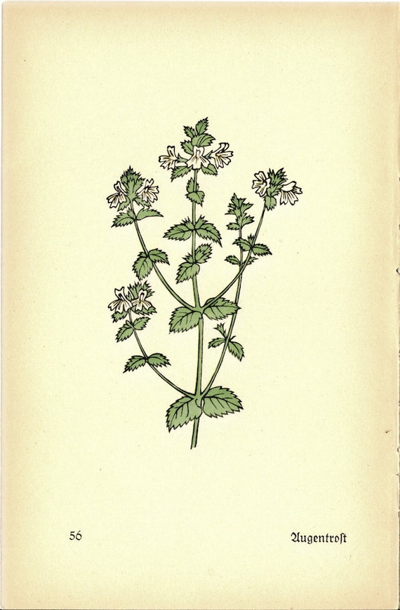 Grabado Botánico alemán de 1930 para enmarcar o para las artes