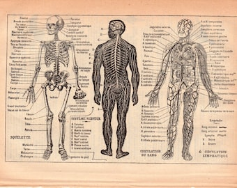 Human Anatomy & Physiology a Rare Antique Book Page Illustration from 1926 French Dictionary, Homme Illustration  PSS 4933