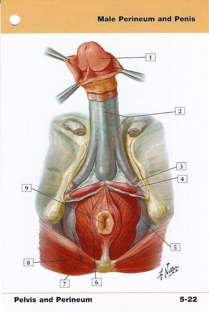 Männliche Perineum und Penis-Anatomie-Flash-Karte von Frank H.