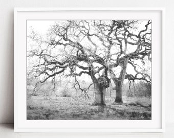 Oak Tree Photograph, Black and White Wall Art Print, Landscape Photography, Nature Photography, Tree Print - Spring Oaks