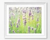 Lavender Flowers Photogra...