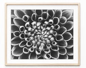 Dahlia Flower Photography...