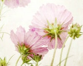 Cosmos Flowers Print, Pin...