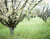 Apple Orchard Photograph,...