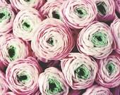 Ranunculus Flowers, Flora...