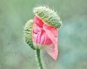 Poppy Botanical Print - F...