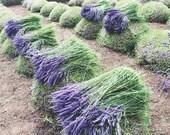 Lavender Field Print, Pur...