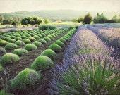 Lavender Field Photograph...