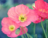 Poppies Photography print...