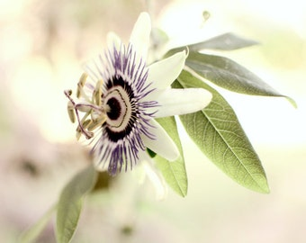 "Botanical Print - Passionflower Photograph - Bedroom Wall Art - Purple Green Wall Art - Passiflora - Floral Wall Art ""Morning Star"""