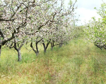 """Landscape photograph - fruit trees - country farmhouse - kitchen wall art - rustic dining room decor - flowering apple trees """"Apple Orchard"""""""