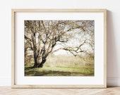 Oak Tree Wall Art, Califo...