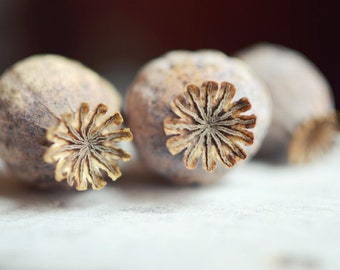 "Seed pod photograph poppy pods nature print wall art black beige white fixer upper modern rustic art poppies print  ""Three Pods"""