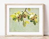 Quince Fruit Tree, Botani...