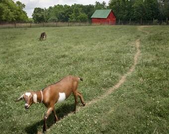 Animal Photography Print, Goat Photograph, Goat Art, Farm Animals, Red Barn, Barn Yard, Animal Art Print, Animal Wall Decor - The Goat Path