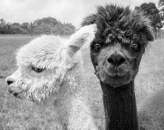 Animal Photograph, Alpaca Print or Canvas Gallery Wrap, Animal, Black & White Photography, Monochromatic Art - Oh Hey!