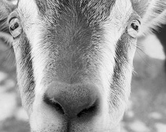 Smiling Goat Photograph, Animal Photography, Goat Art Print, Happy Animal, Black & White, Farm Animal, Farm House Decor - Sidney